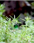 Ohrringe Alexandra silber grün einzeln